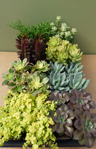 SUCCULENT ASSORTMENT Smaller Varieties
